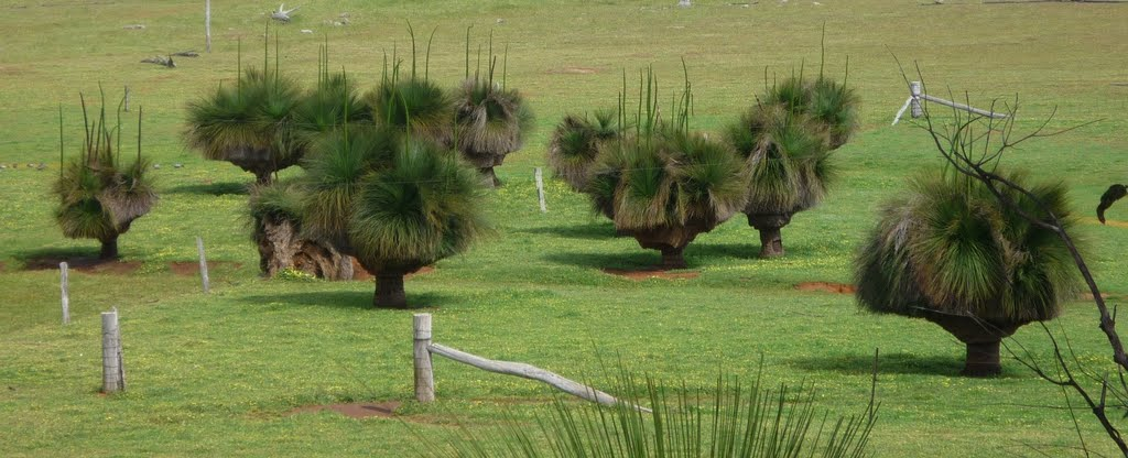 Australian Native Grass Trees ( Blackboys )Oct 2011