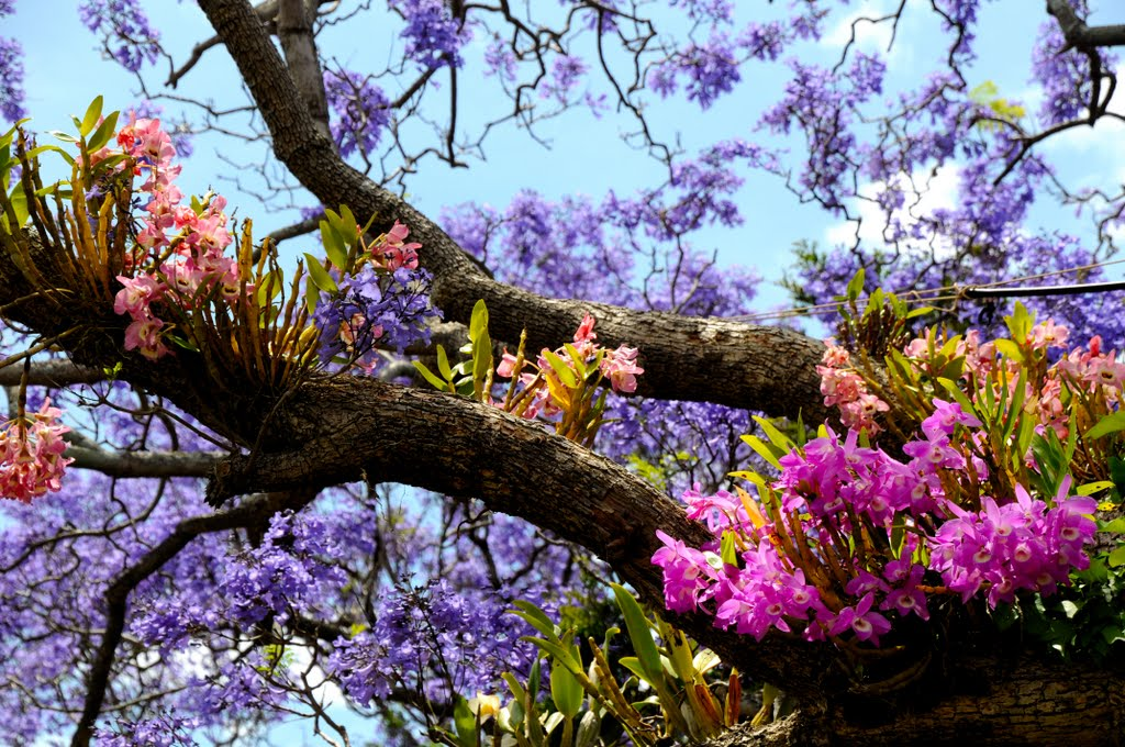 Jacaranda trees & Orchirds... (Please Enlarge)