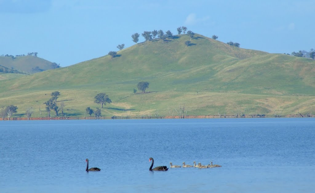 Swans on Hume