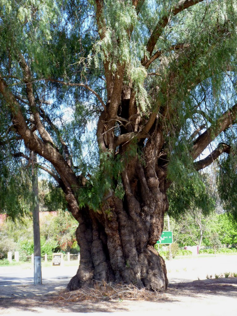 Gnarled peppercorn tree