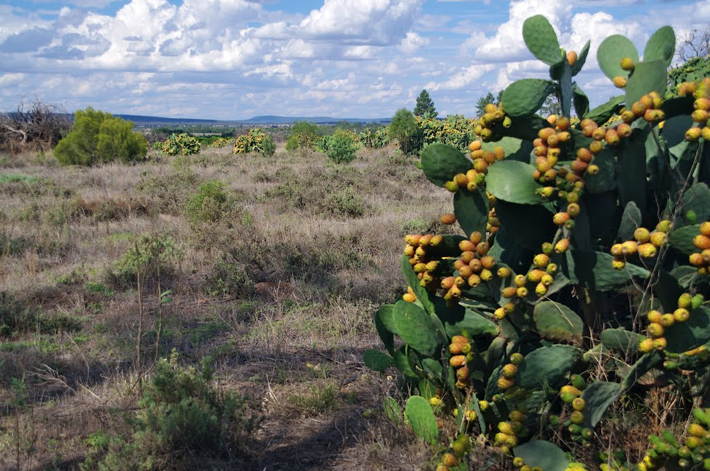 Prickly Pear, Noxious Weed: Griffith