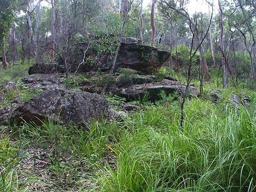 Sydney red gum forest with sedge understorey