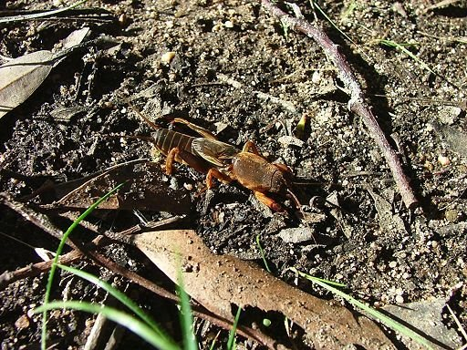 wandering mole cricket