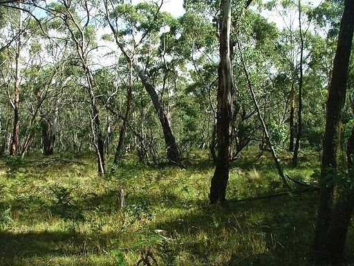 black sally - apple box - ribbon gum grassy forest
