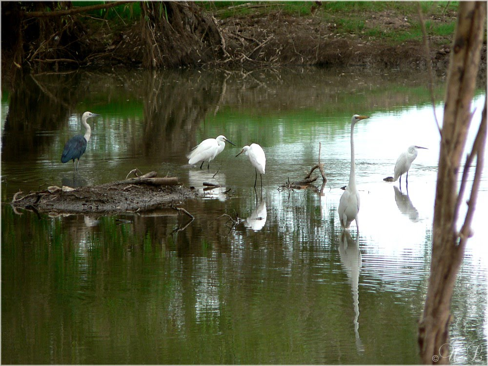 Heron & Egrets in the Fitzroy River, near Camballin, West Australia