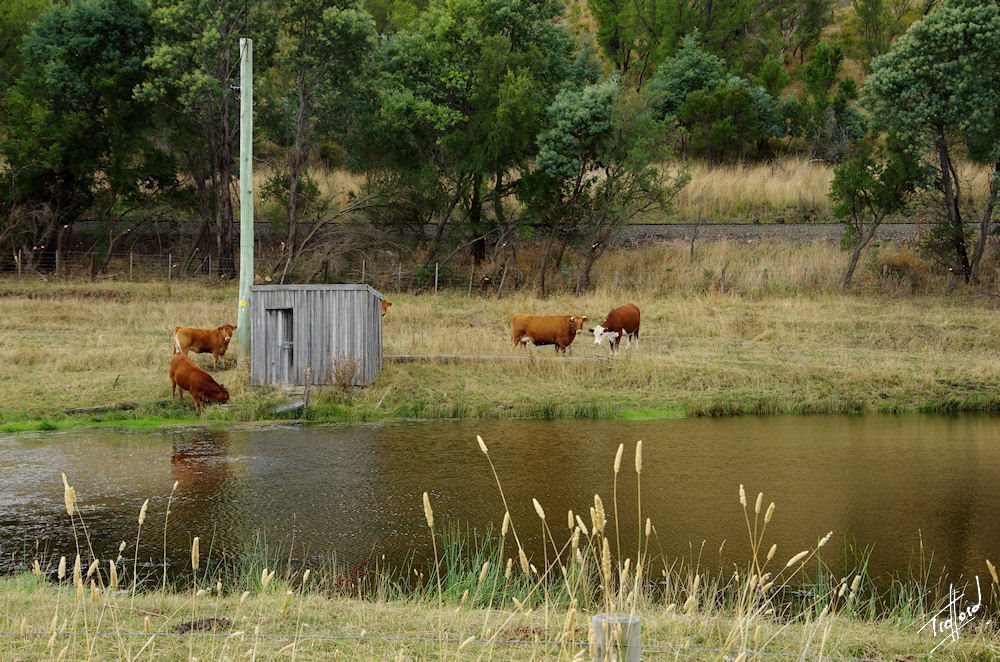 A shed, a pond and some cattle