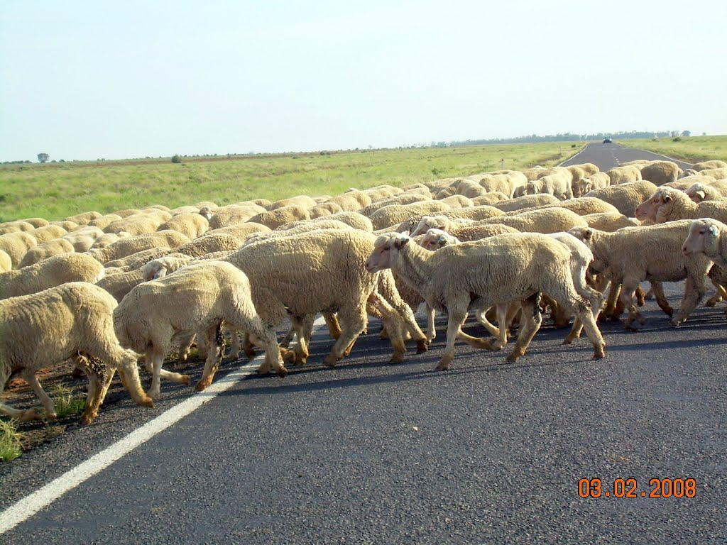 sheep have the right of way