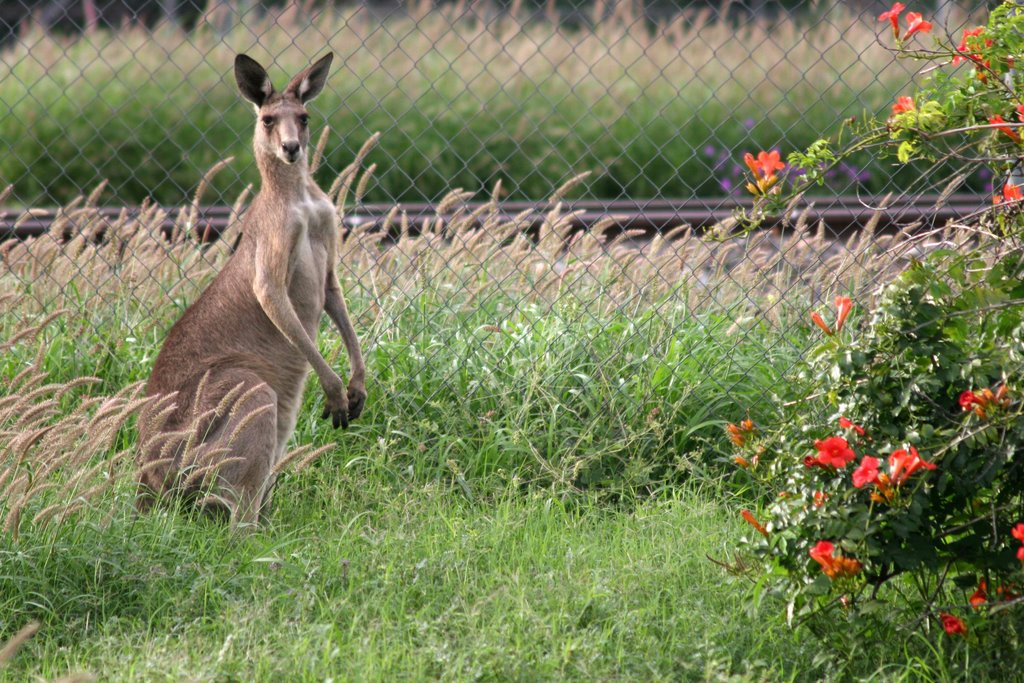 Look out for Trains. A Western Grey Kangaroo wanders in to the railway station gardens at Thallon
