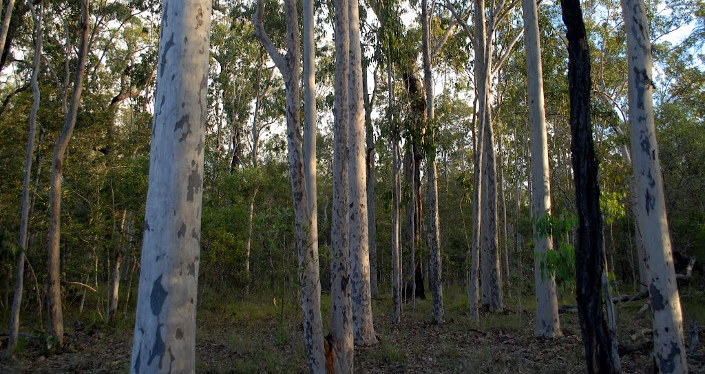 Spotted Gum woodland