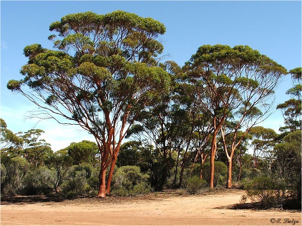 Salmon Gum Trees ** Karalee Rock *** WA