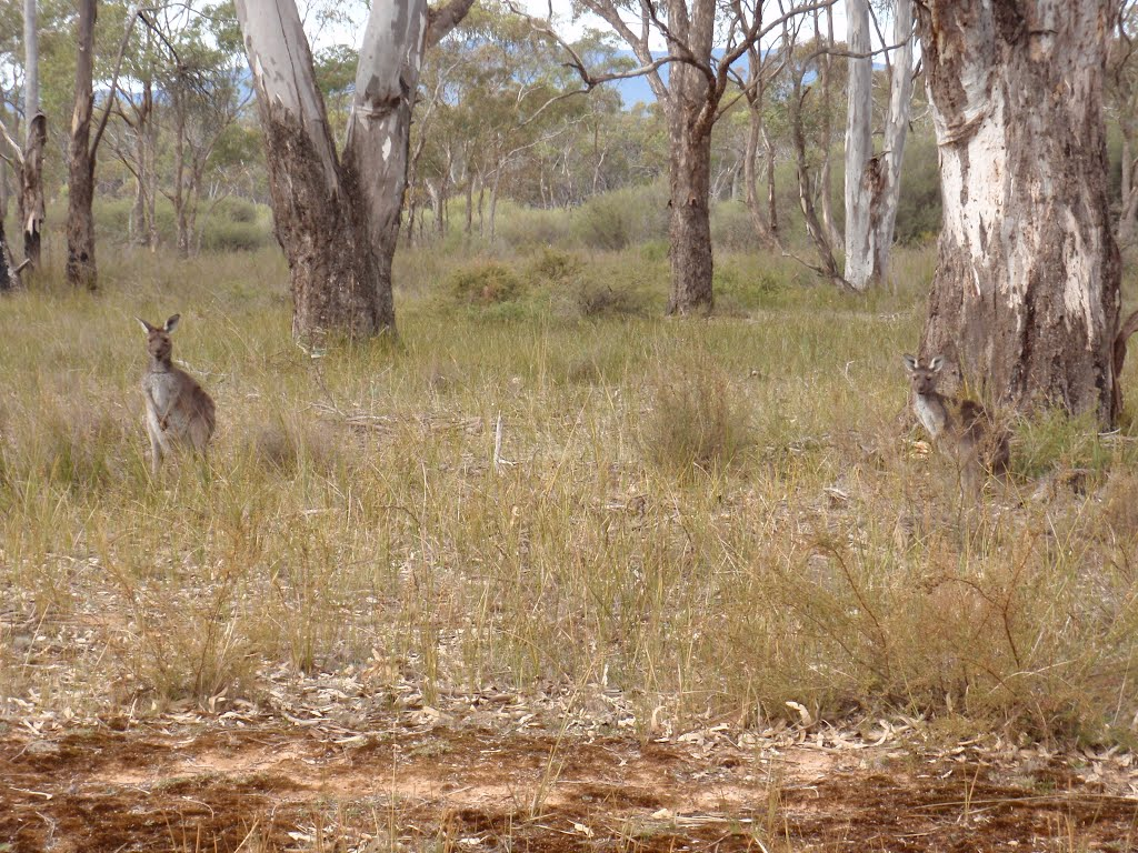 Kangaroos at the Grampians