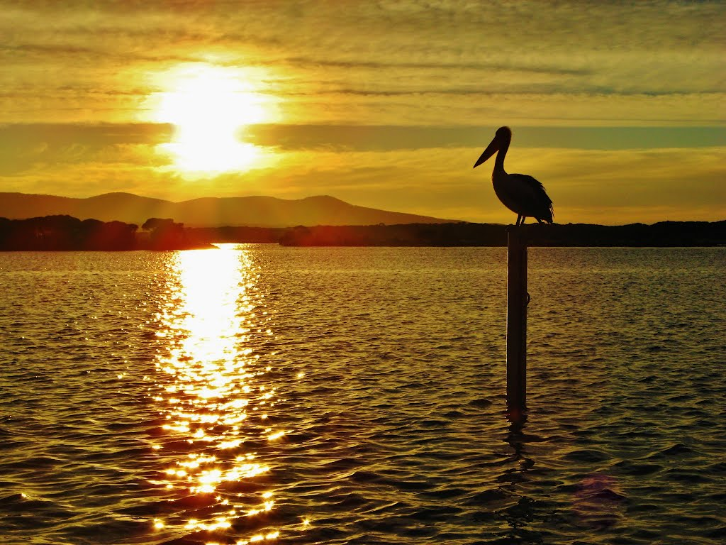 Pelican watching the sunrise in Mallacoota