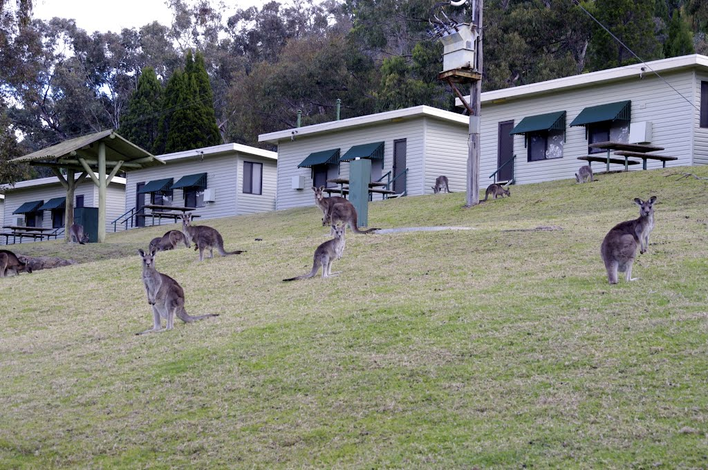 Cabins and kangaroos at Wyangala Dam