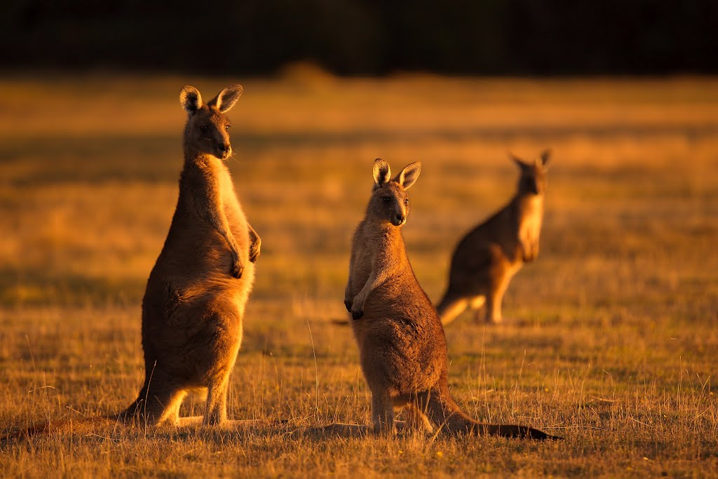 Forester Kangaroos in the Evening Light