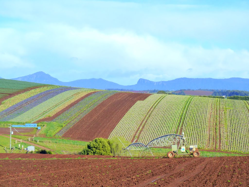 Vegetable Farming in the rich chocolate soils of the North West Coast, Dial Range in background.......374
