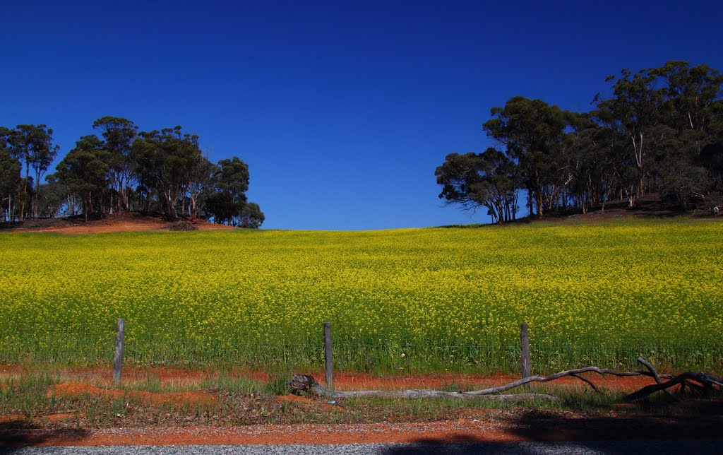 Golden Canola near Wandering.