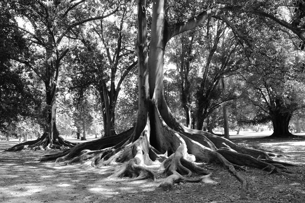 Morton Bay Fig, Botanic Park