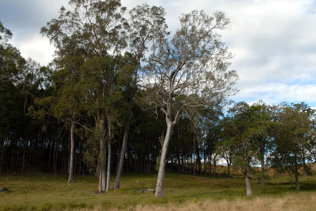 Red Gums and Swamp Box