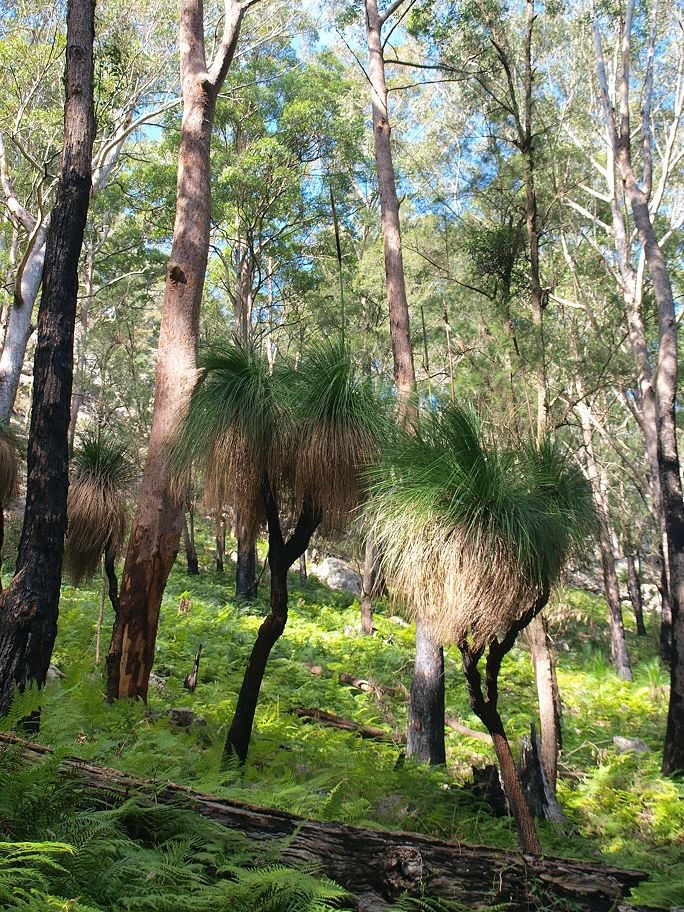 Grasstrees in forest, side of Alum Mountain, Bulahdelah, NSW.