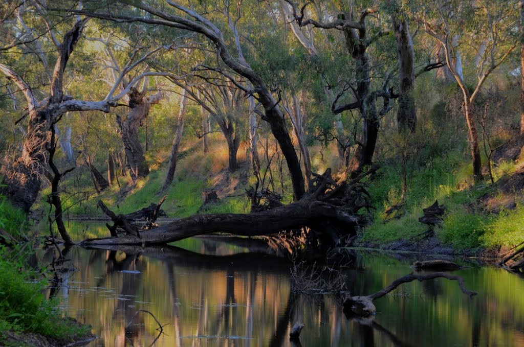 Gum trees in a backwater