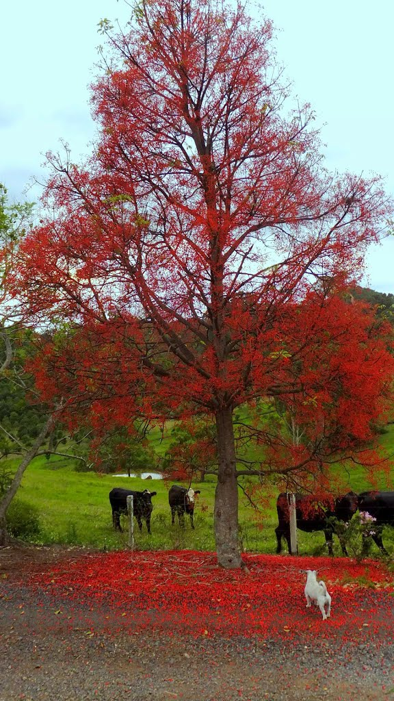 Brachychiton acerifolius - the Illawarra Flame tree & Booris