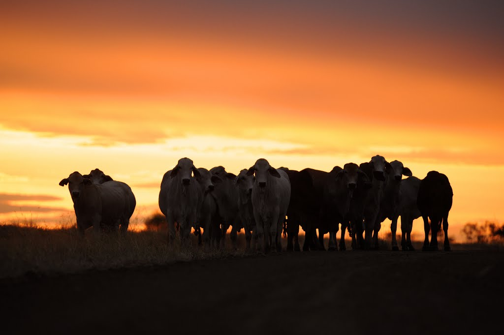 Cattle at evening