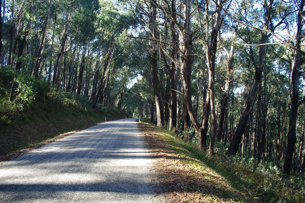 Eucalypts lining the Bogong High Plains Road