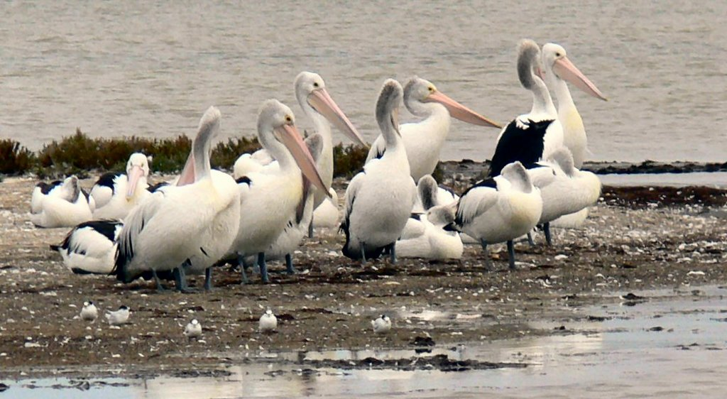 Pelicans resting at Price saltfields