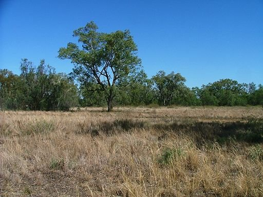 Coolabah woodland in Moree Town Common