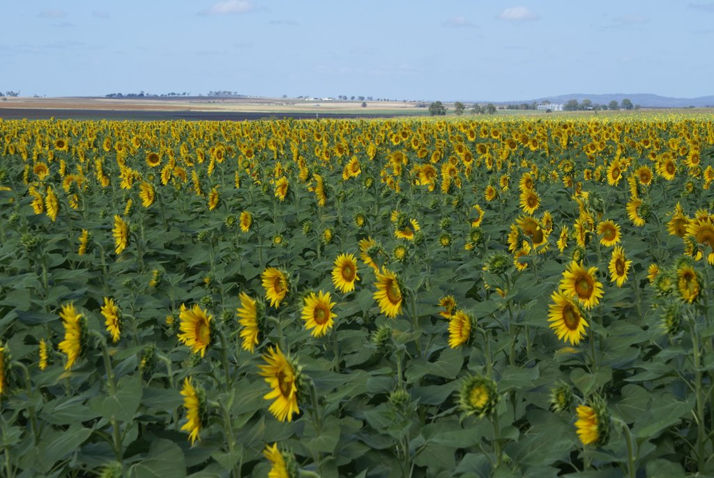 Sunflowers on the Darling Downs